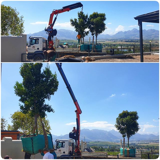 Mature Tree | Planting Trees | Moving Trees & Crane Truck Hire