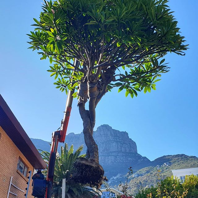 Cape Town Trees | Native Trees | Moving Trees